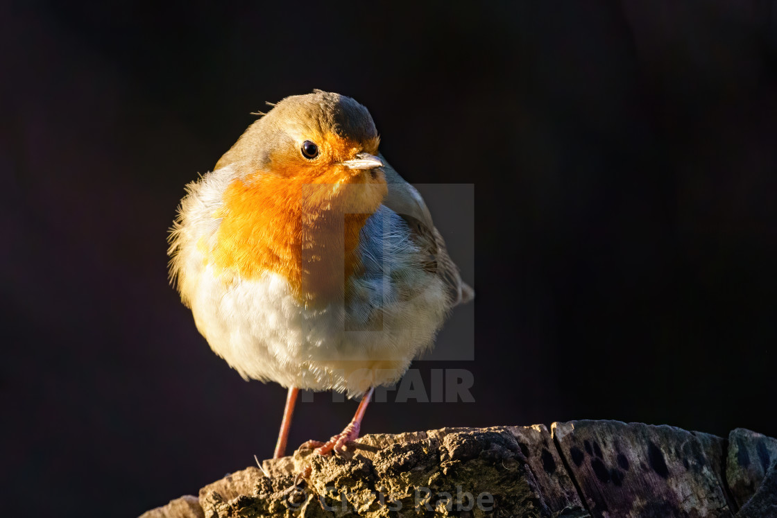 """European Robin (Erithacus rubecula) portrait, perched on a tree stump in..."" stock image"
