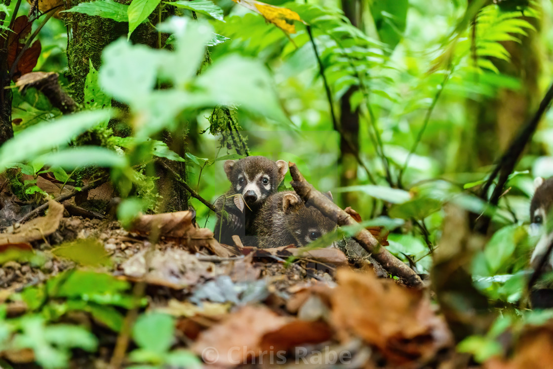 """Pair of Baby Ring-Tailed Coati (Nasua nasua rufa), taken in Costa Rica"" stock image"