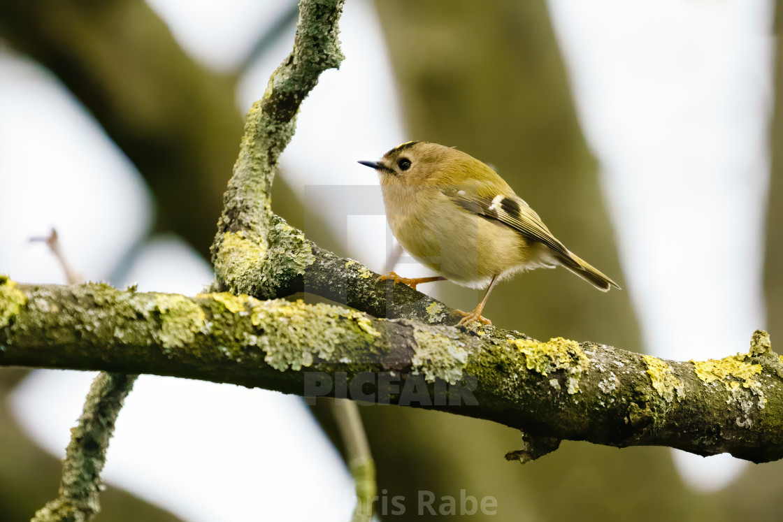"""""""Goldcrest (Regulus regulus) perched on a branch in early spring, taken..."""" stock image"""