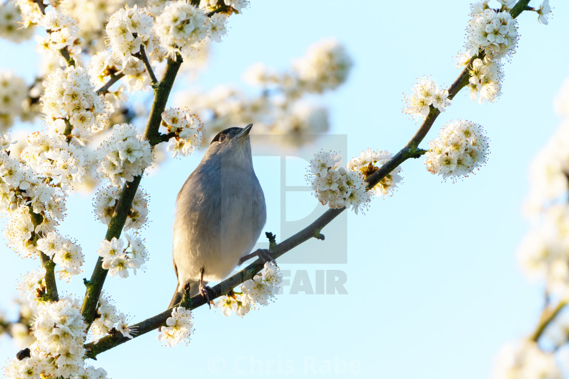 """Blackcap (Sylvia atricapilla) perched in a tree in full bloom in spring,..."" stock image"