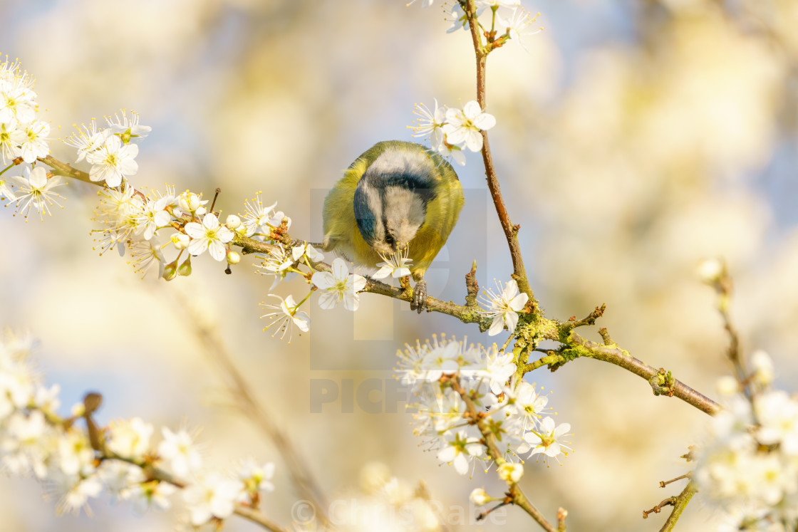 """Blue Tit (Cyanistes caeruleus) feeding from a flower, taken in the London,..."" stock image"
