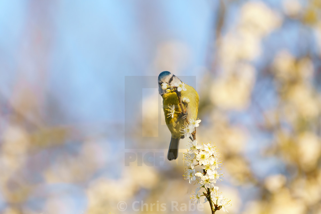 """Blue Tit (Cyanistes caeruleus) feeding off blossom at end of a twig, taken in..."" stock image"