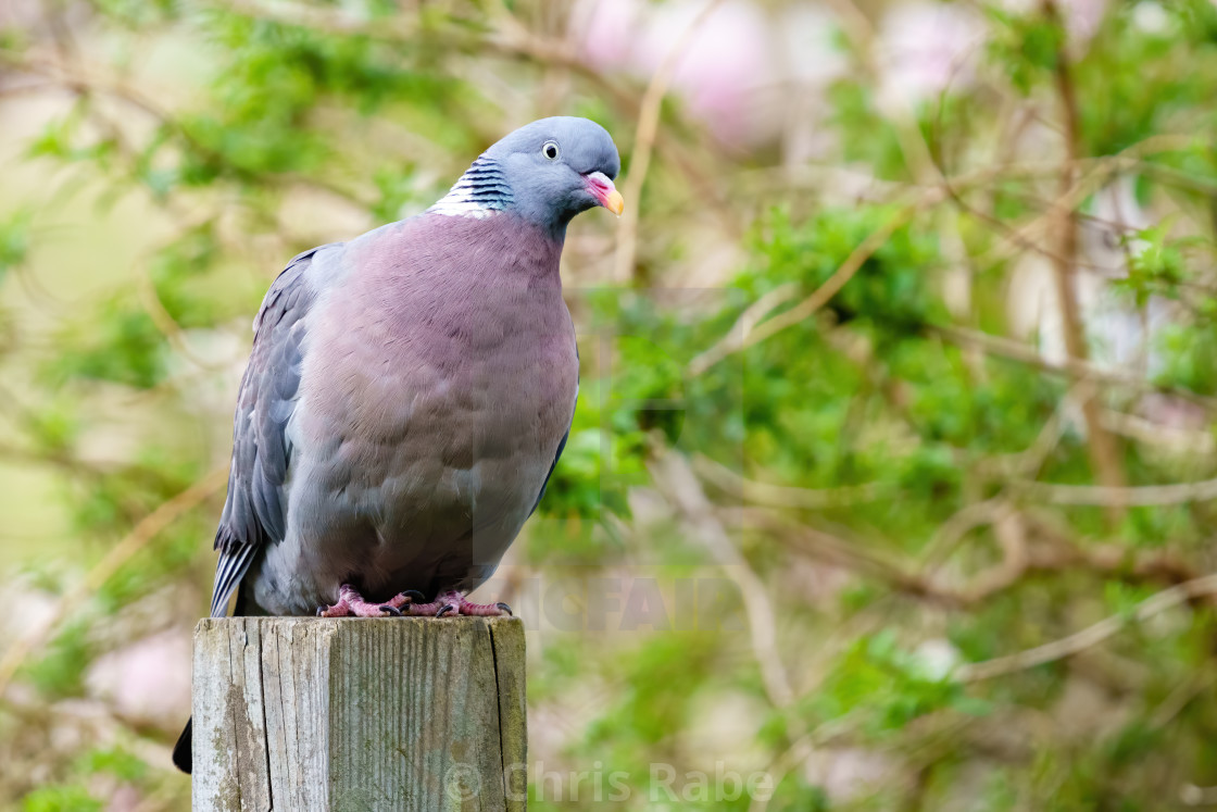 """Common Wood Pigeon (Columba palumbus) sitting on wood psot with head cocked..."" stock image"