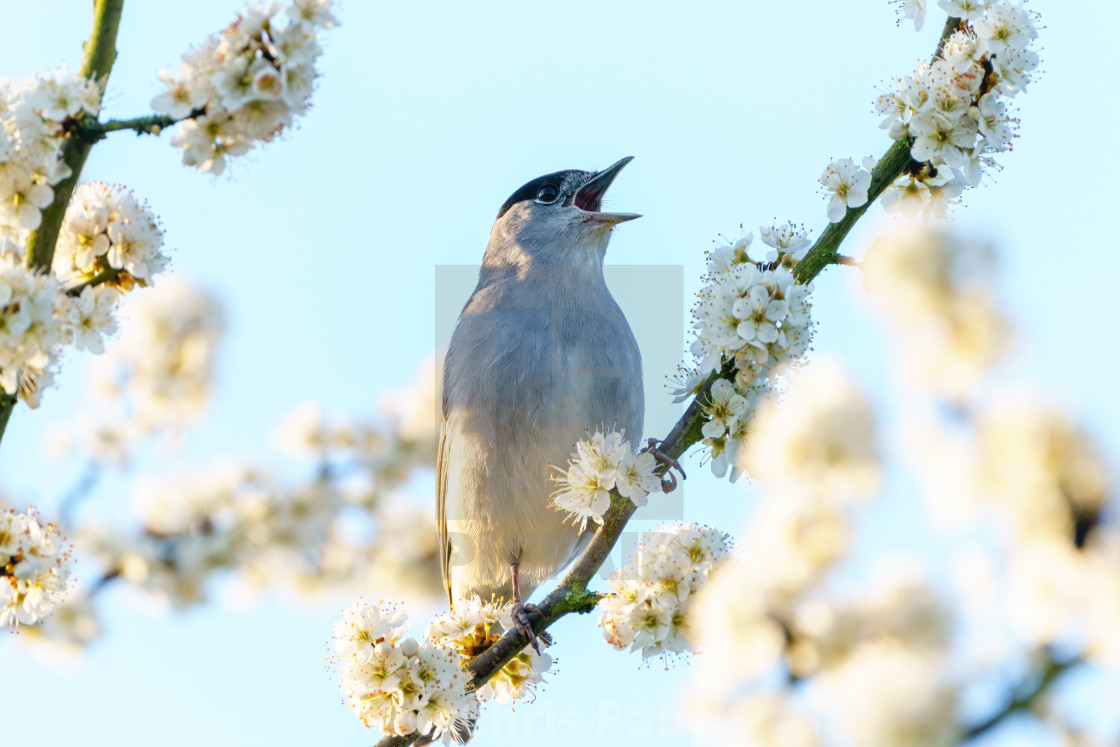 """Blackcap (Sylvia atricapilla) male perched among blossoms singing, taken in..."" stock image"