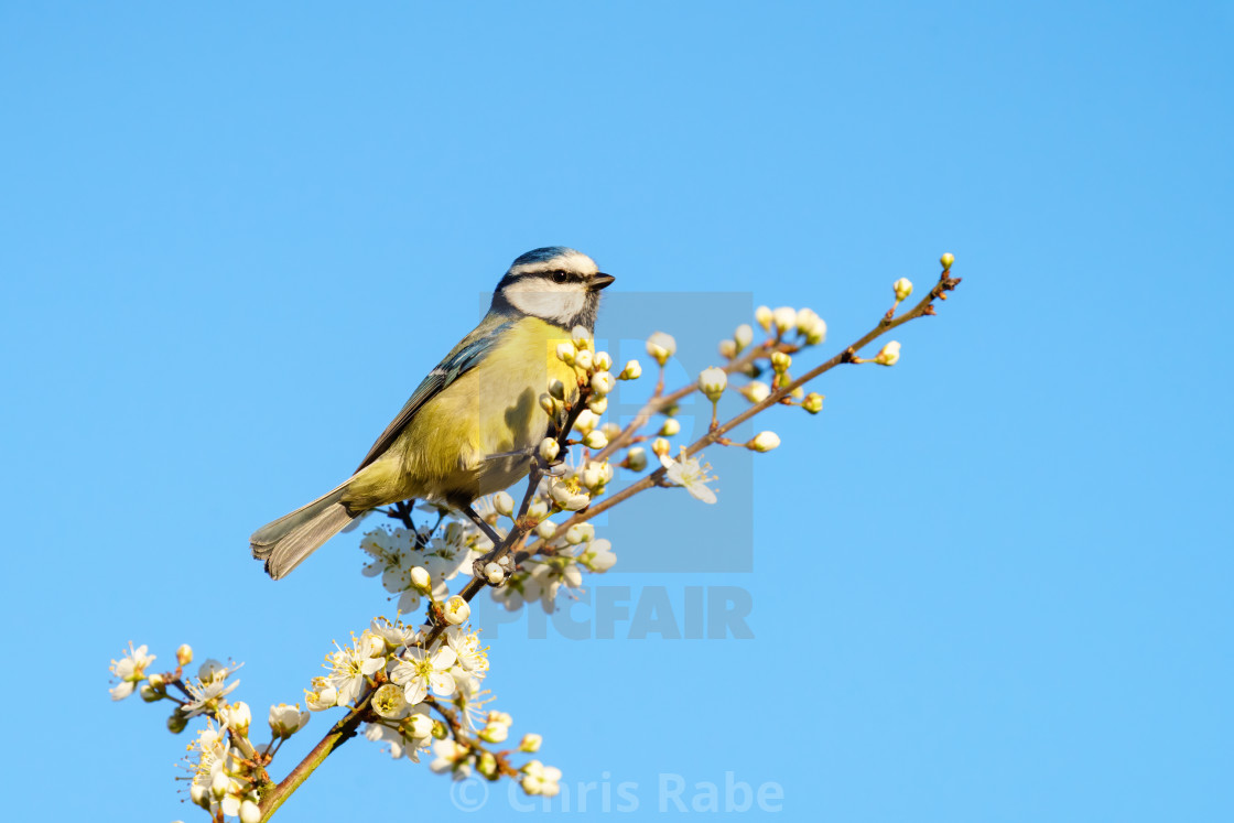 """Blue Tit (Cyanistes caeruleus) perched at the end of a twig in bloom, taken..."" stock image"