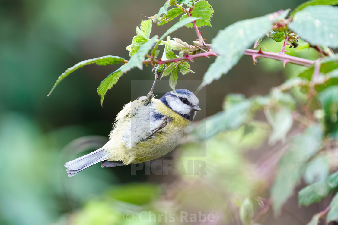 """""""Blue Tit (Cyanistes caeruleus) hanging from the end of a twig, taken in England"""" stock image"""