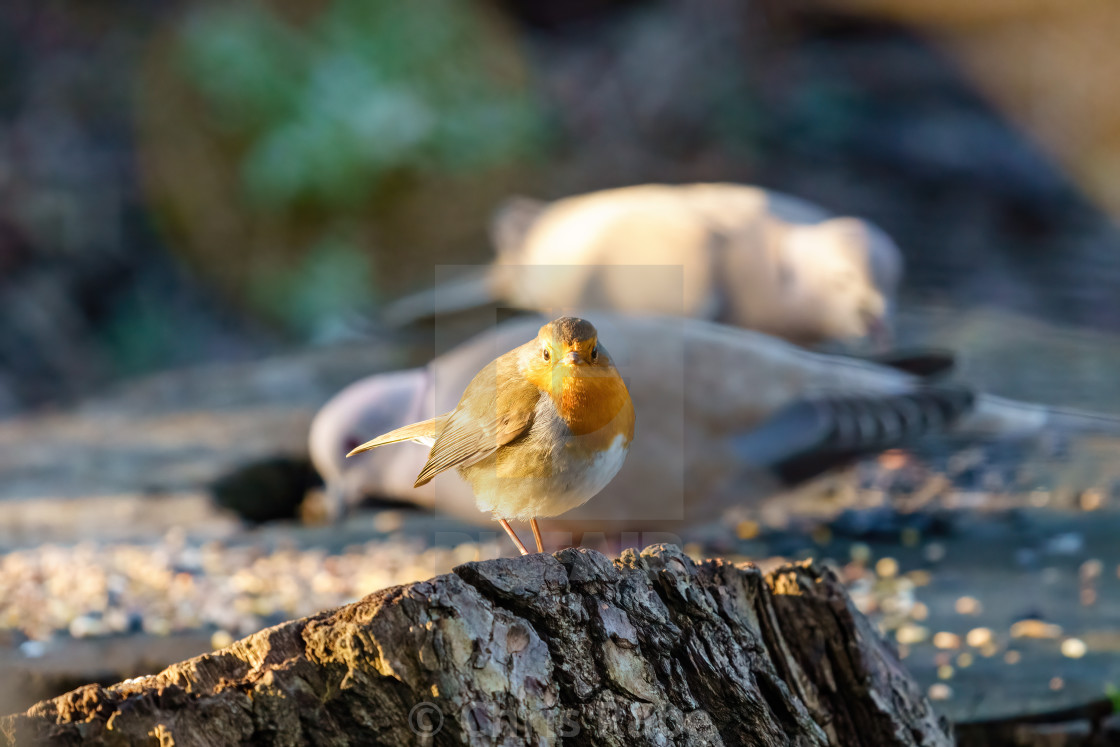 """European Robin (Erithacus rubecula) perched on a tree stump looking at..."" stock image"