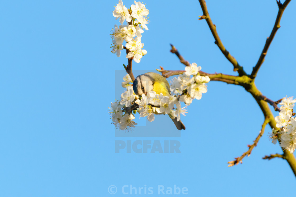 """Blue Tit (Cyanistes caeruleus) feeding from blossoms, taken in London, England"" stock image"