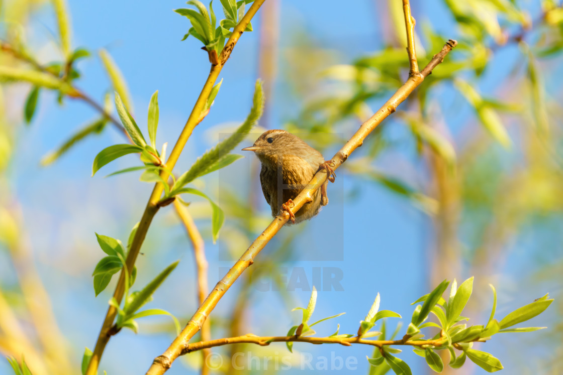 """Wren (Troglodytes troglodytes) perched on a small branch, taken in England"" stock image"