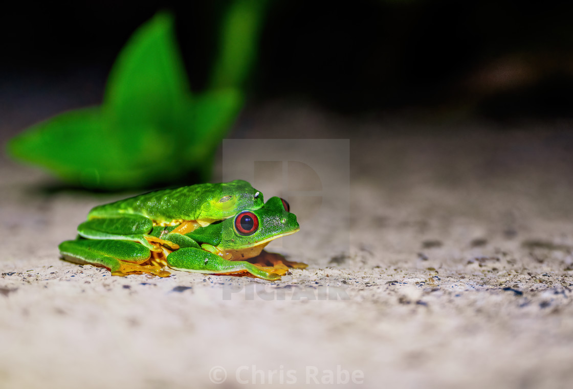 """Red-Eyed Tree Frog (Agalychnis callidryas)"" stock image"