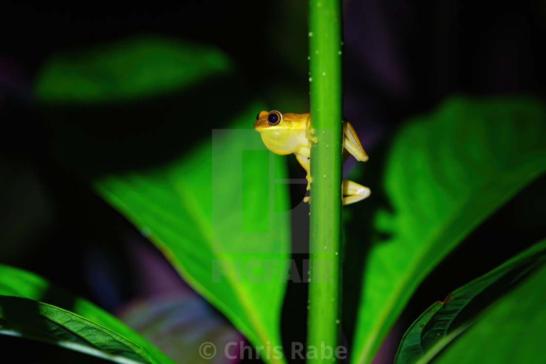 """Small-headed tree frog (Hyla microcephala)"" stock image"