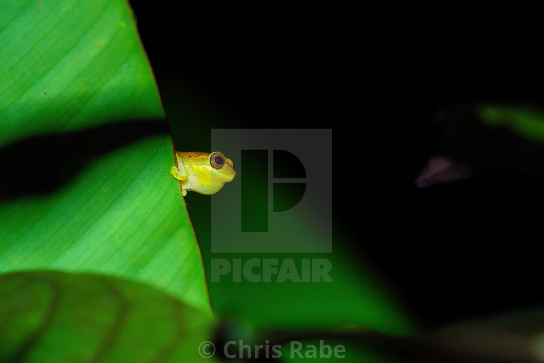 """Small-headed tree frog (Hyla microcephala) in Costa Rica"" stock image"
