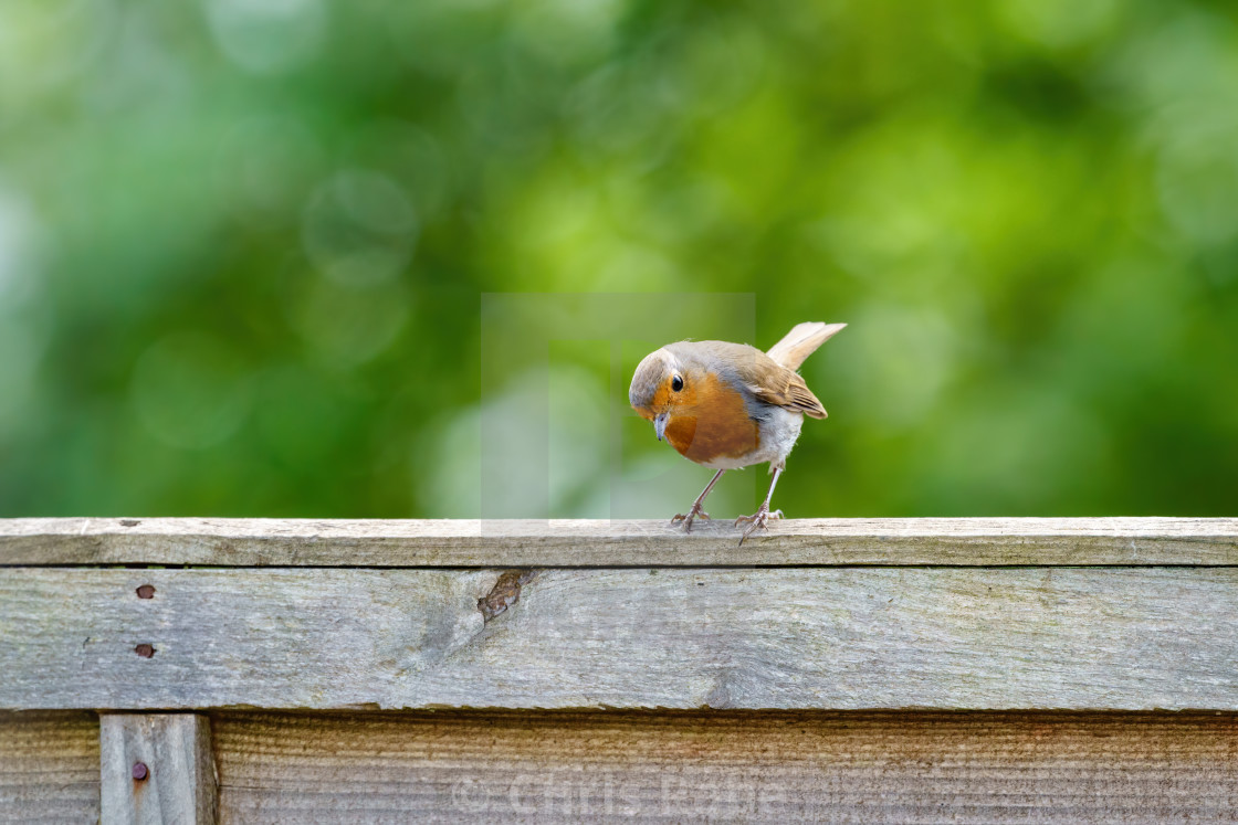 """European Robin (Erithacus rubecula) perched on a fence eyeing up food on the..."" stock image"
