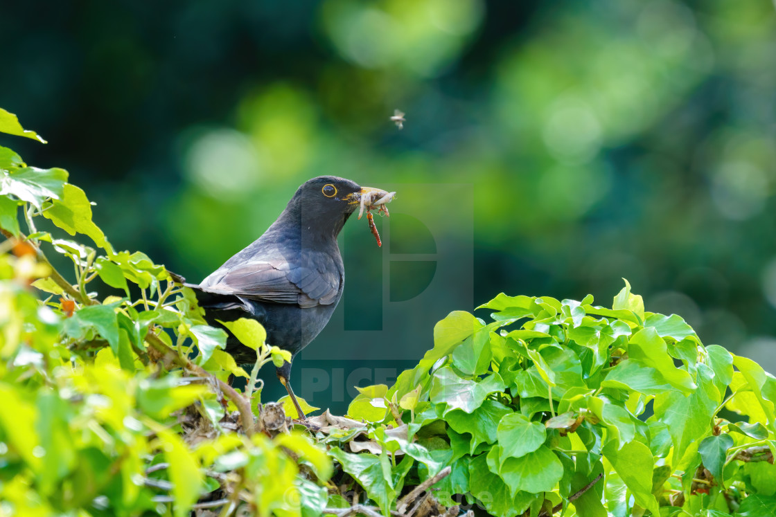 """Blackbird (Turdus merula) male on ivy hedge carrying worms to nest, taken in..."" stock image"