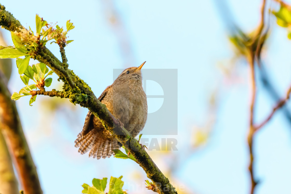 """Wren (Troglodytes troglodytes) perched on branch in early morning light,..."" stock image"