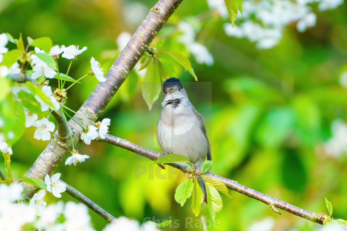 """Blackcap (Sylvia atricapilla) male looking at camera, perched am"" stock image"