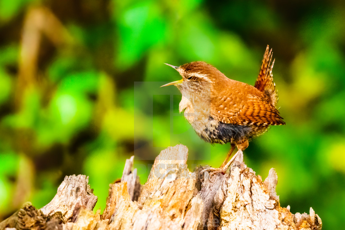 """Wren (Troglodytes troglodytes) perched on stump singing, with eyes half..."" stock image"
