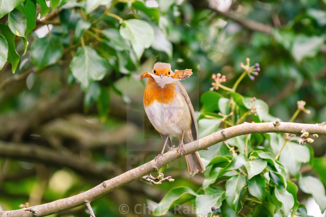 """European Robin (Erithacus rubecula) perched on an Ivy branch, holding a leaf,..."" stock image"