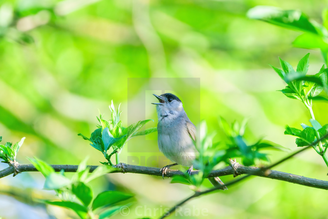 """Blackcap (Sylvia atricapilla) male singing on a bright spring morning in London"" stock image"