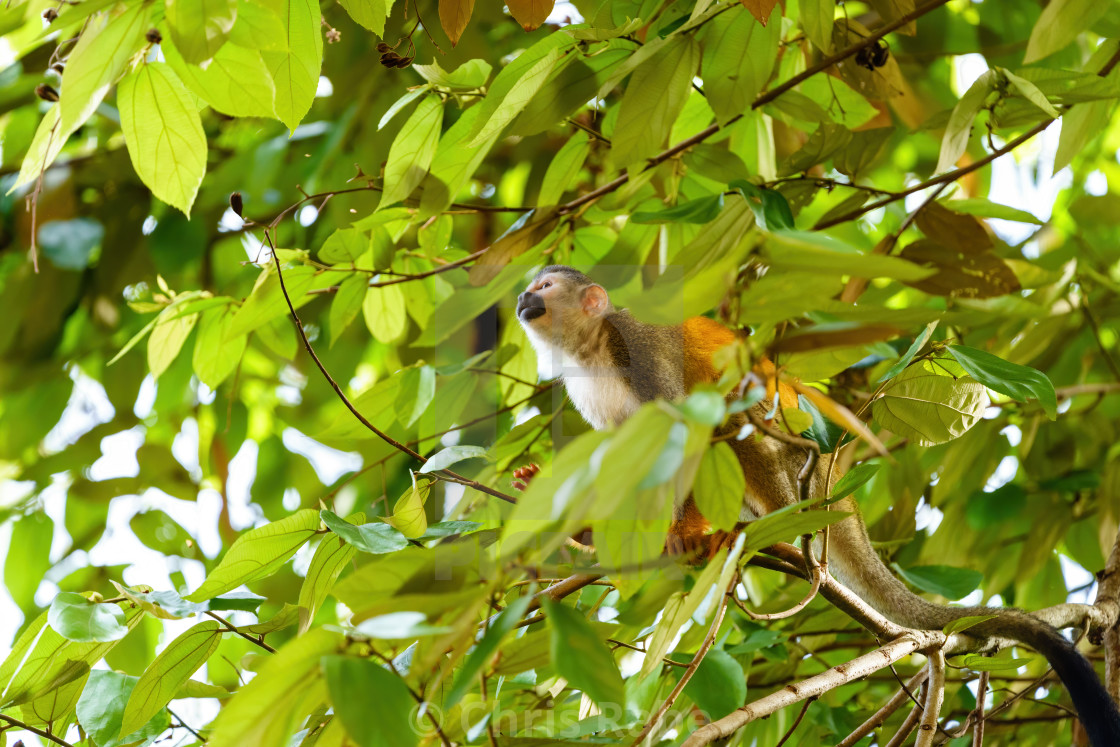 """Common Squirrel Monkey (Saimiri sciureus) in jungle canopy, taken in Costa Rica"" stock image"
