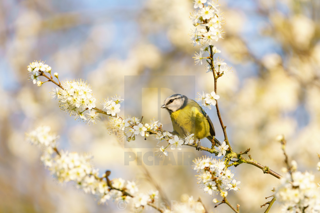 """Blue Tit (Cyanistes caeruleus) surrounded by blossoms on a tree, taken in the UK"" stock image"