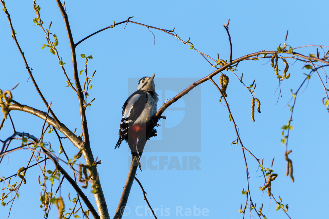 """""""Greater Spotted Woodpecker (Dendrocopos major) perched on a thin branch,..."""" stock image"""