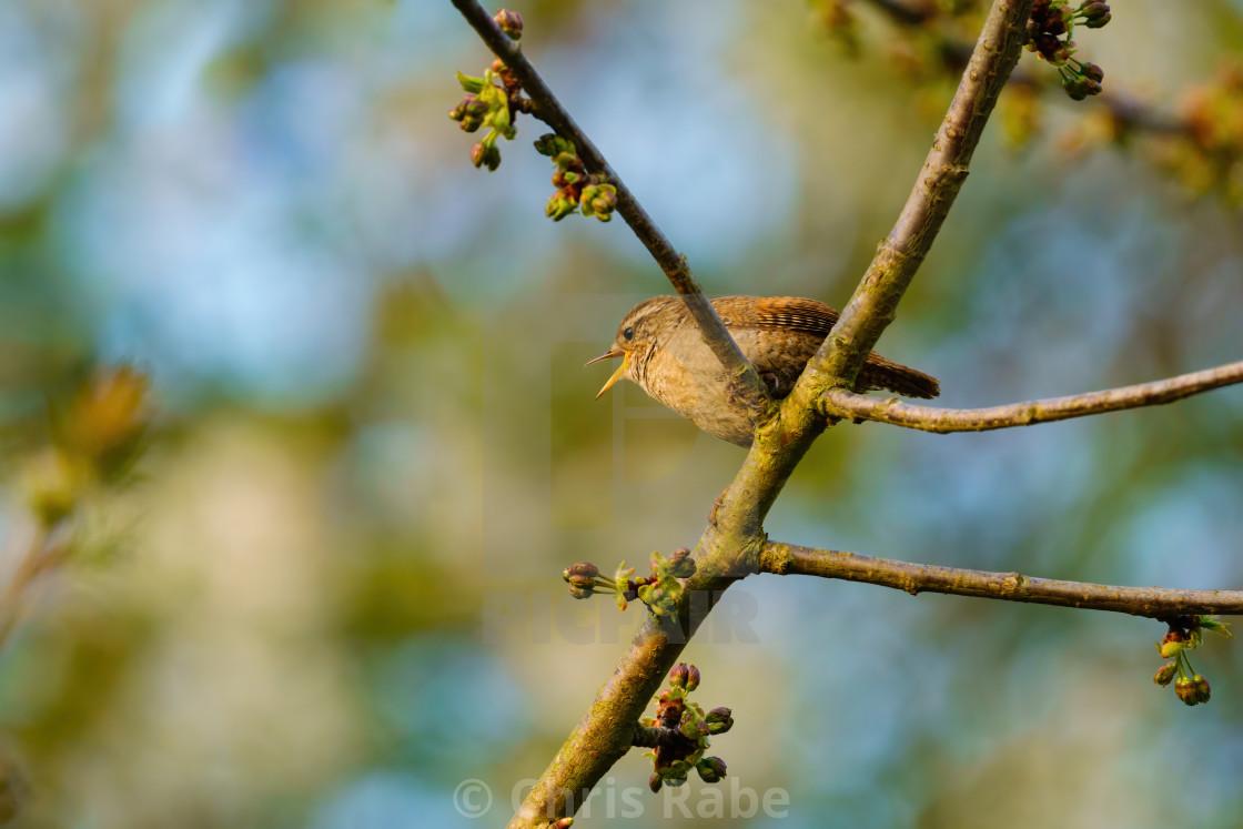 """Wren (Troglodytes troglodytes) perched in a tree singing, taken in the UK"" stock image"