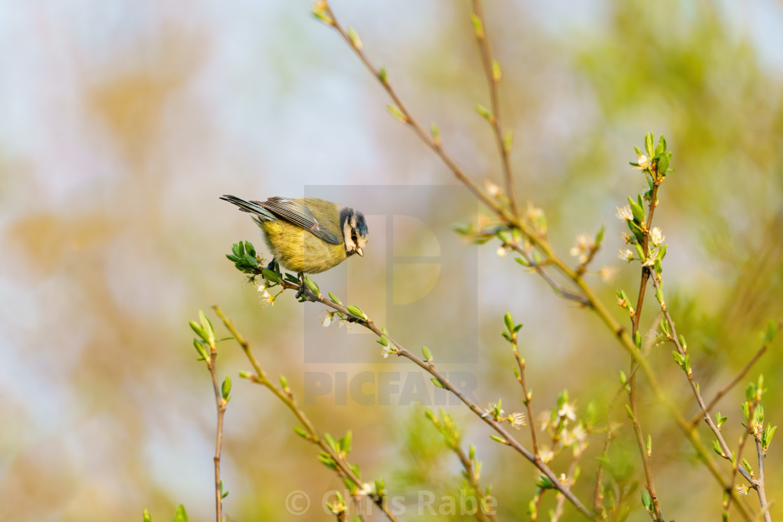 """Blue Tit (Cyanistes caeruleus) at the end of a thing branch, taken in London,..."" stock image"