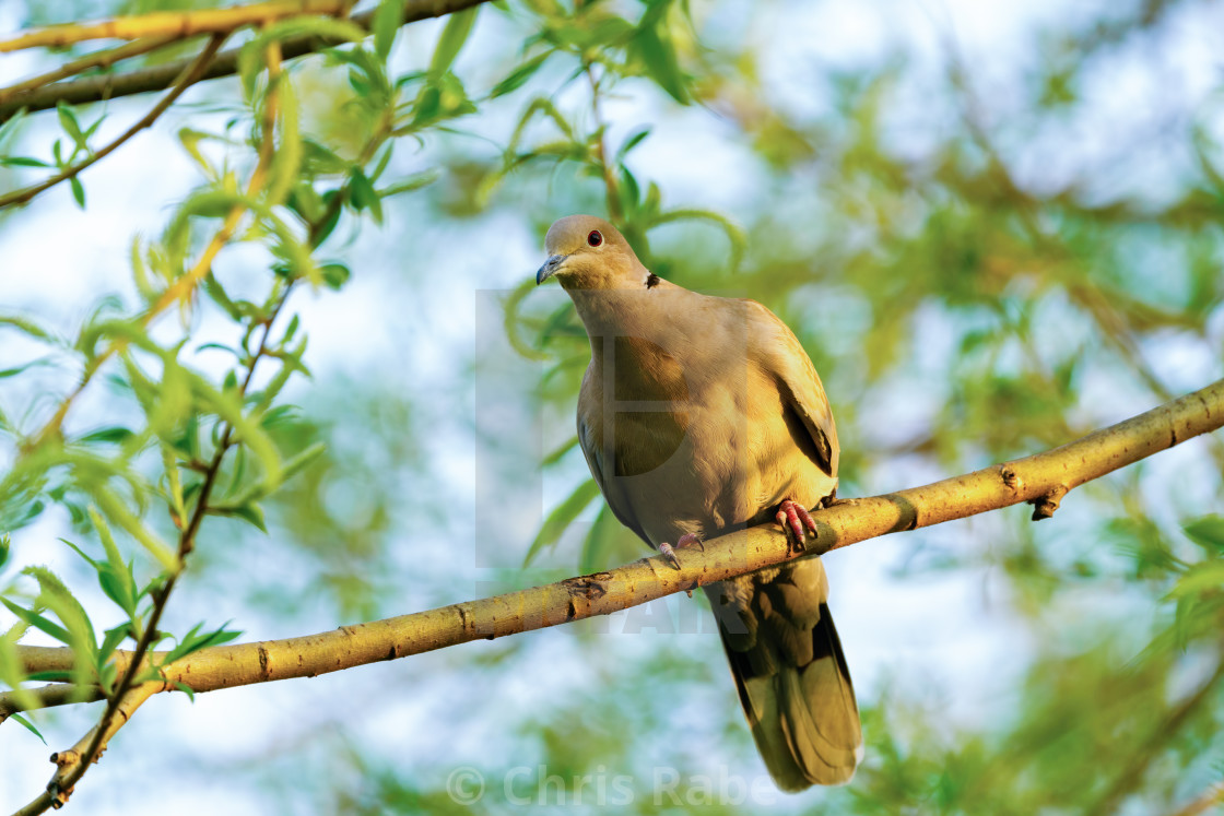 """Collared dove (Streptopelia decaocto) in golden morning light, taken in London"" stock image"