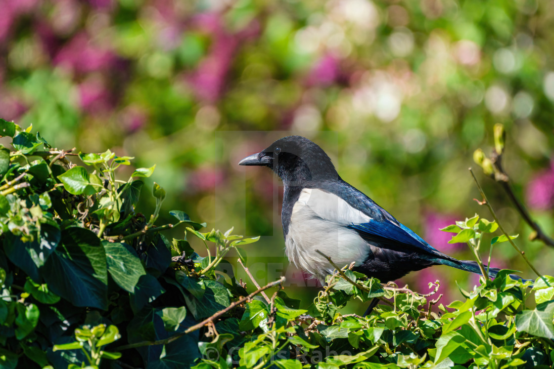"""Eurasian Magpie (Pica pica) sitting on an ivy hedge, taken in the UK"" stock image"