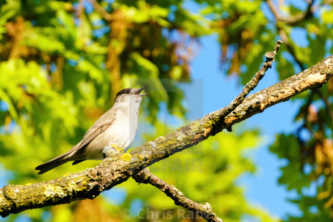 """""""Blackcap (Sylvia atricapilla) male sitting on a branch singing, taken in West..."""" stock image"""