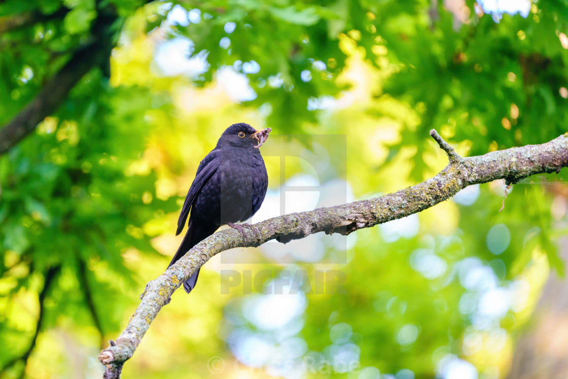"""Blackbird (Turdus merula) male with worms in beak against bright green..."" stock image"