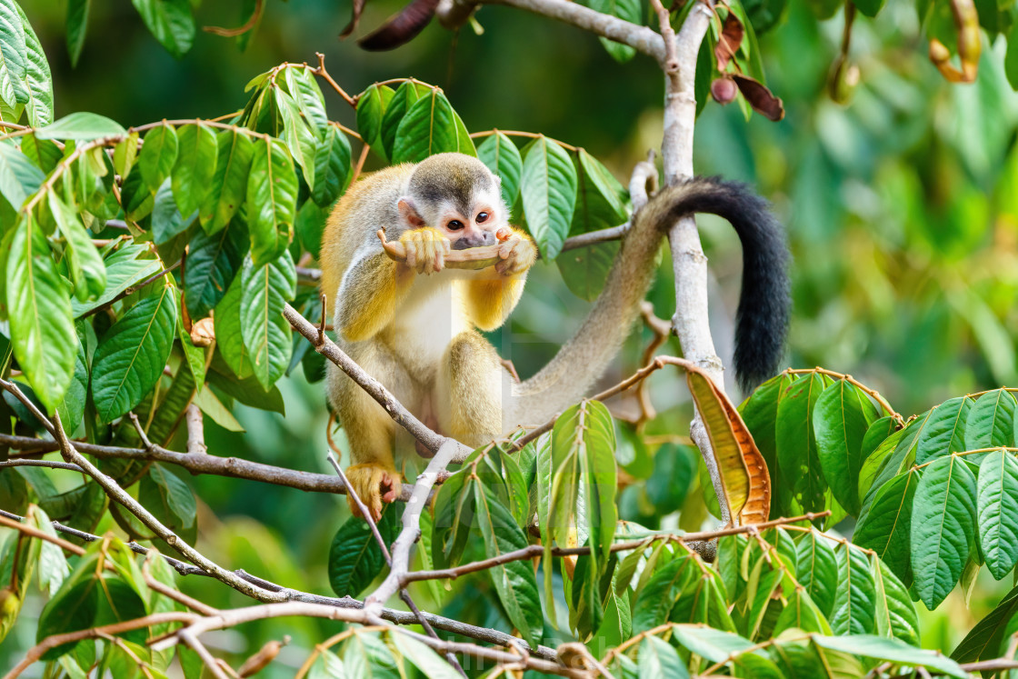 """Common Squirrel Monkey (Saimiri sciureus) feeding off a seed pod in jungle..."" stock image"