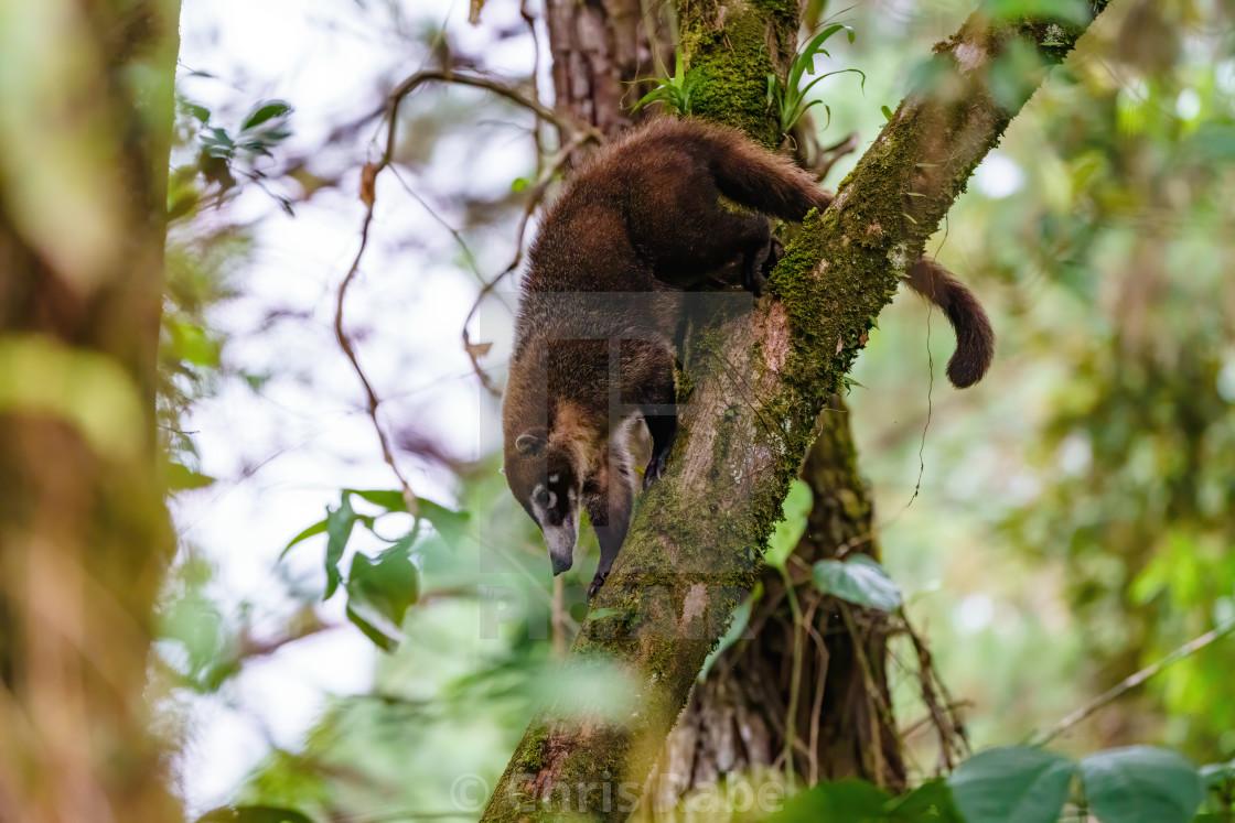 """Ring-Tailed Coati (Nasua nasua rufa) climbing downa steep branch, taken in..."" stock image"
