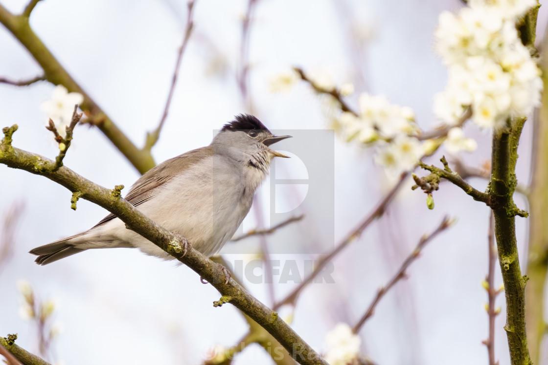"""""""Blackcap (Sylvia atricapilla) male singing, taken in London, England"""" stock image"""