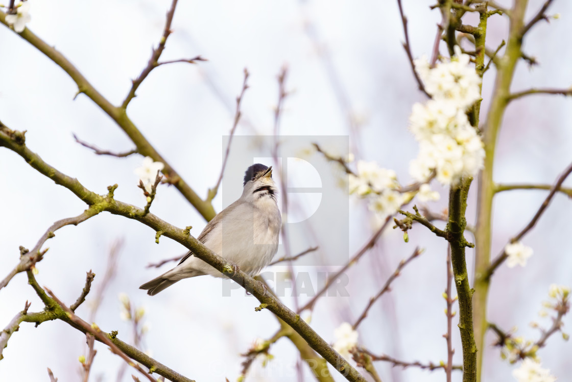 """""""Blackcap (Sylvia atricapilla) perched on a blooming bush in spring singing,..."""" stock image"""