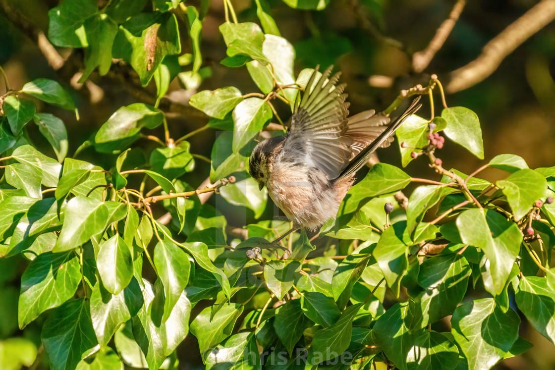 """""""Long-tailed tit (Aegithalos caudatus) landing in some ivy, taken in London"""" stock image"""