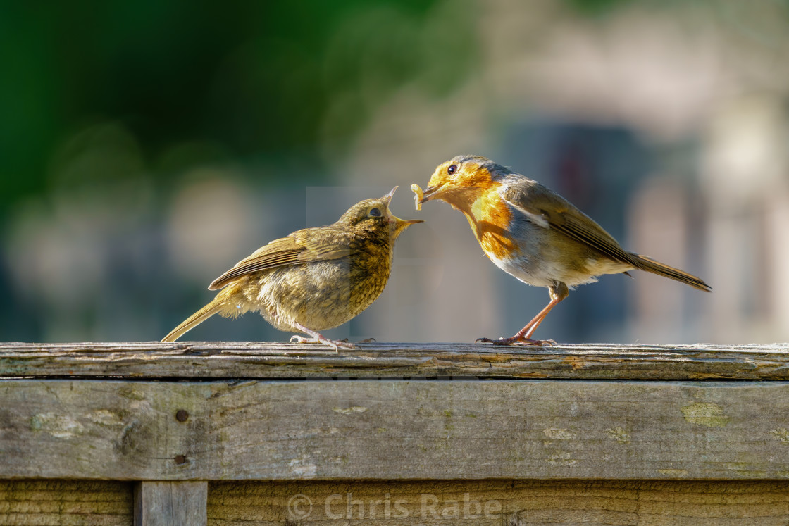 """European Robin (Erithacus rubecula) juvenile being fed a meal worm by it's..."" stock image"