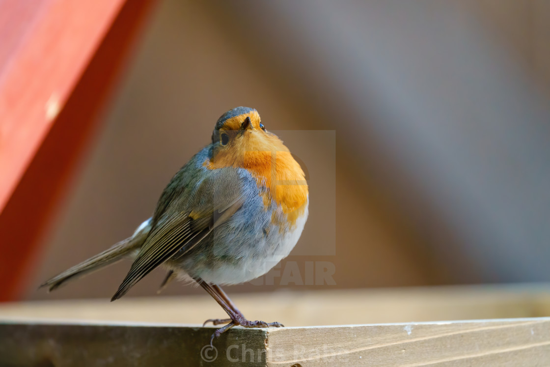 """""""European Robin (Erithacus rubecula) loooking over it's shoulder to camera,..."""" stock image"""