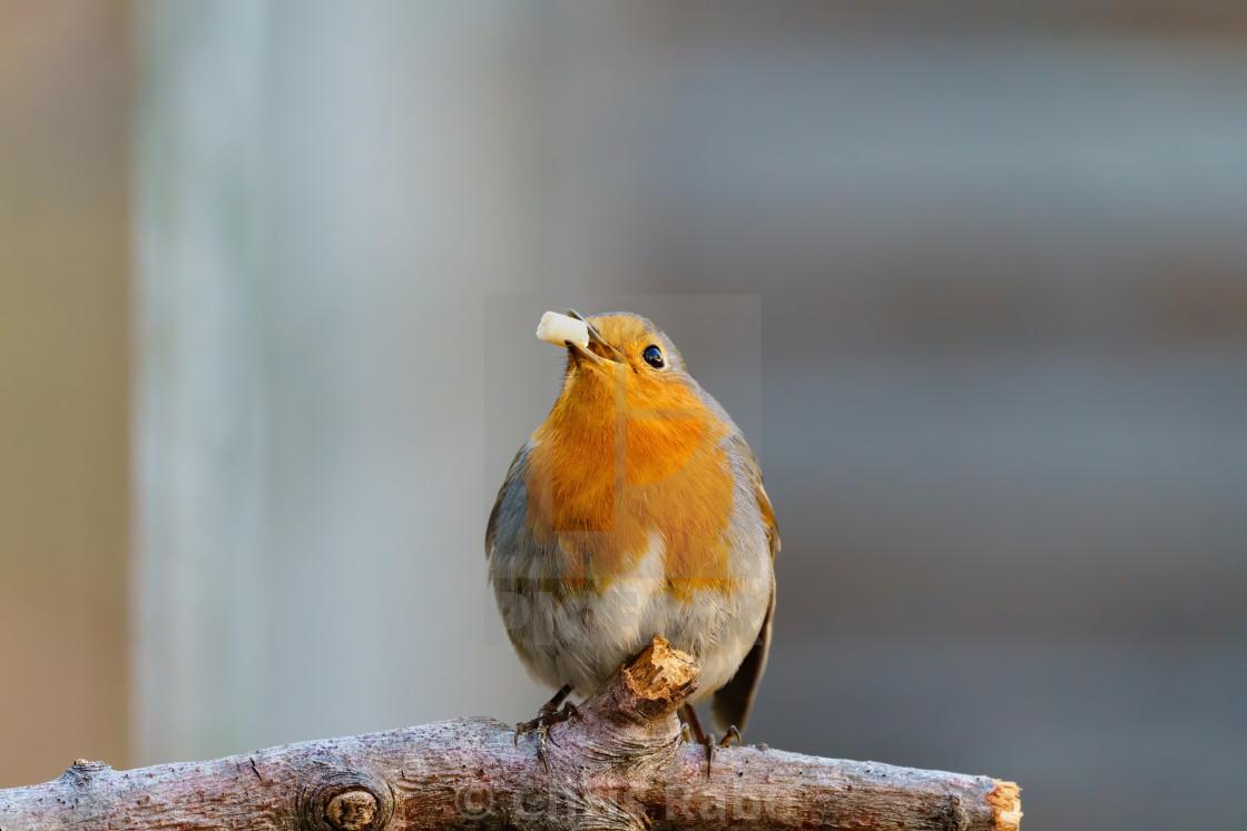 """European Robin (Erithacus rubecula) with a suet pellet in it's beak, facing..."" stock image"