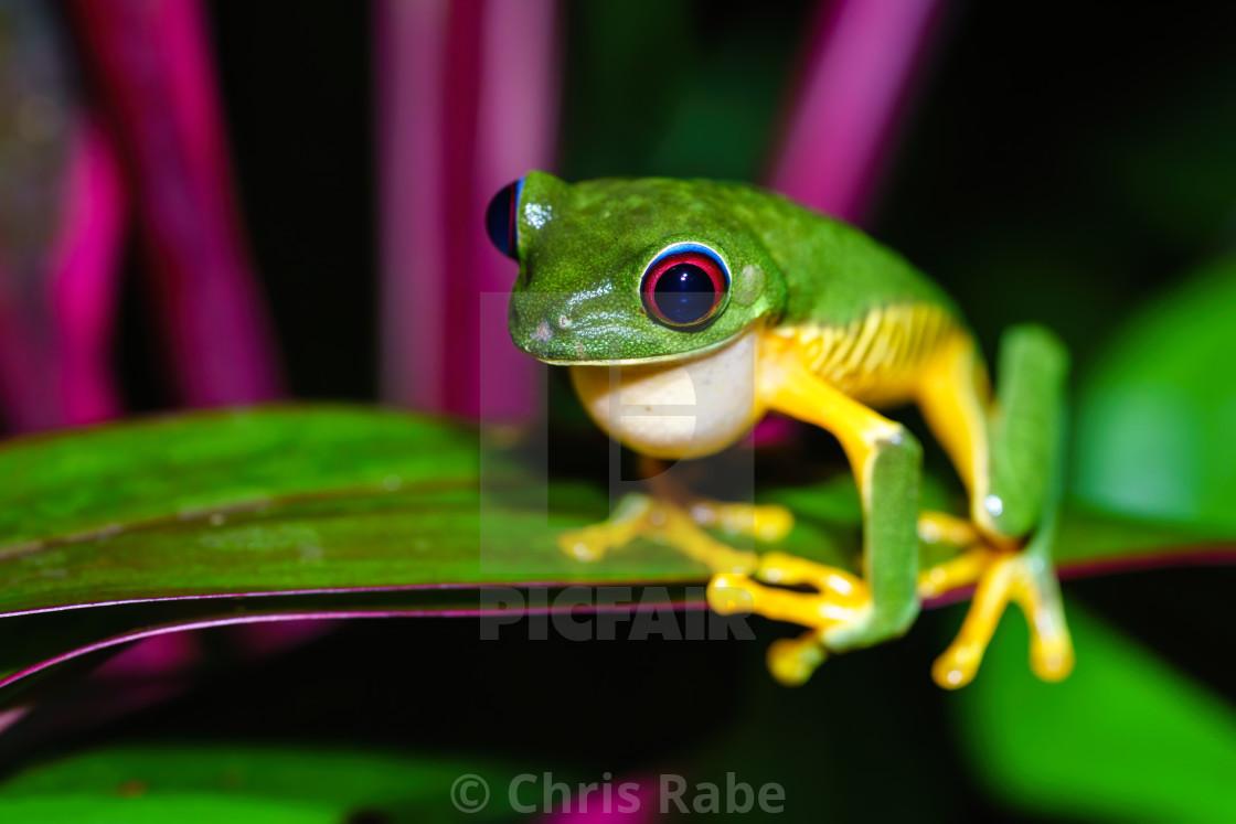 """Red-Eyed Tree Frog (Agalychnis callidryas) sitting near side of a leaf, taken..."" stock image"