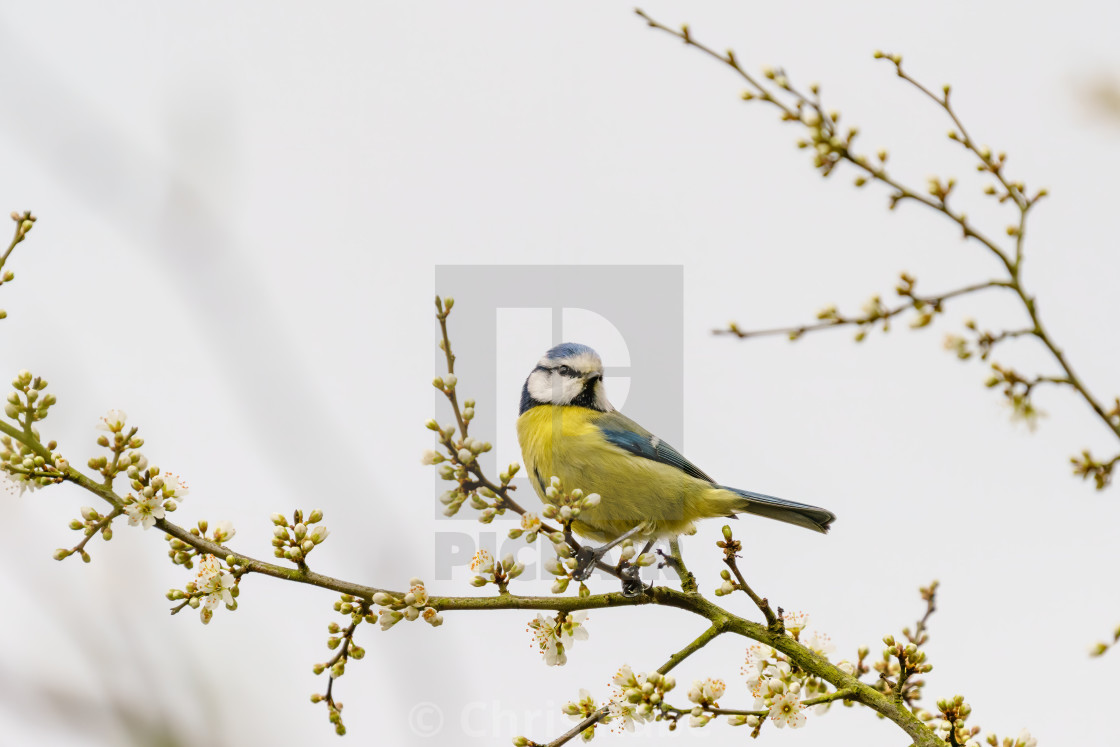 """Blue Tit (Cyanistes caeruleus) sitting on the end of a twig, taken in London"" stock image"