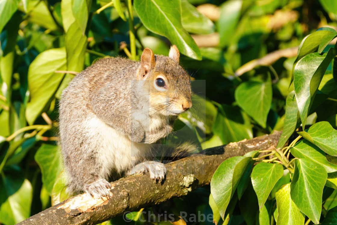 """Gray Squirrel (Sciurus carolinensis) standing on branch, taken in the UK"" stock image"