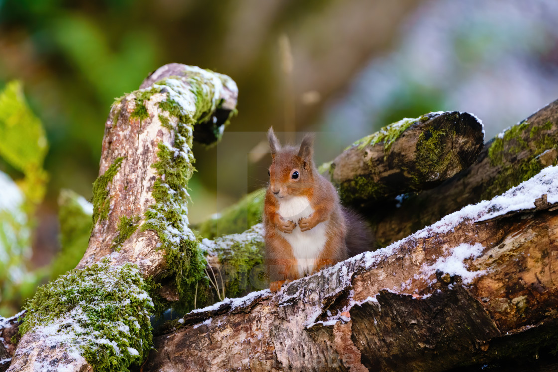 """""""red squirrel (Sciurus vulgaris) sitting on a log with it's paws up, taken in..."""" stock image"""