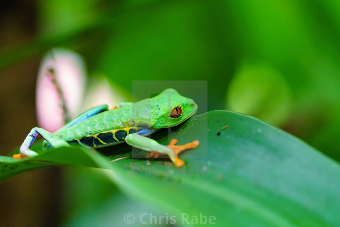 """""""Red-Eyed Tree Frog (Agalychnis callidryas) resting on the edge of a lead,..."""" stock image"""
