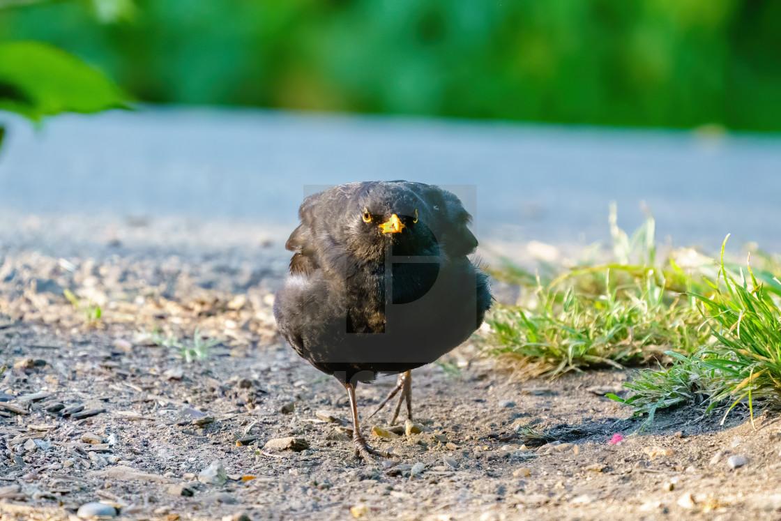 """Blackbird (Turdus merula) looking very round running along ground, in London,..."" stock image"