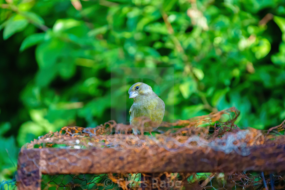"""""""Greenfinch (Chloris chloris) perched on top of some rusty metal with ti's..."""" stock image"""