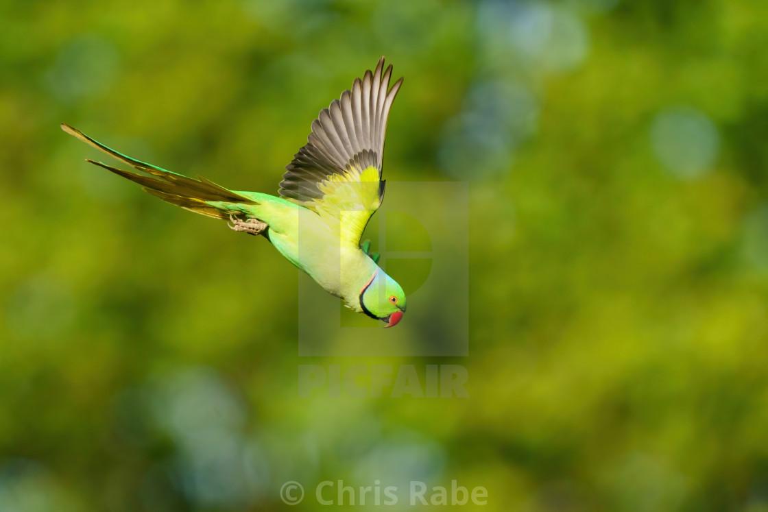 """Ring-necked parakeet (Psittacula krameri) in flight, taken in London"" stock image"
