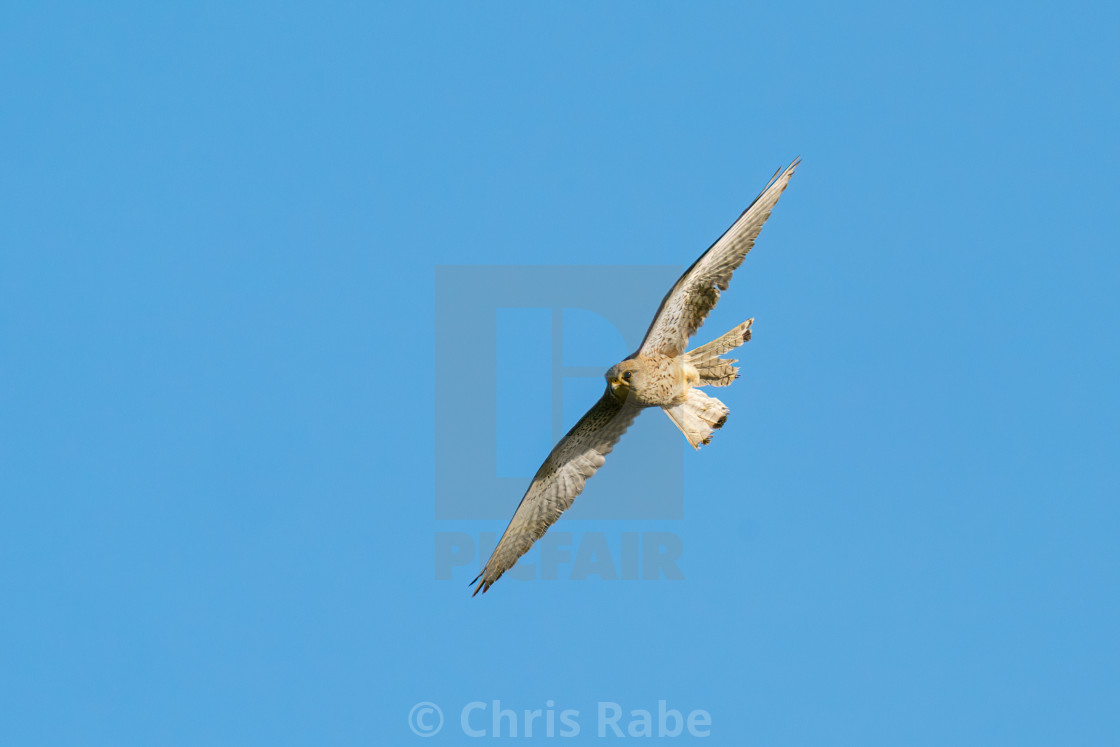 """Common Kestrel (Falco tinnunculus) in flight, taken in London"" stock image"