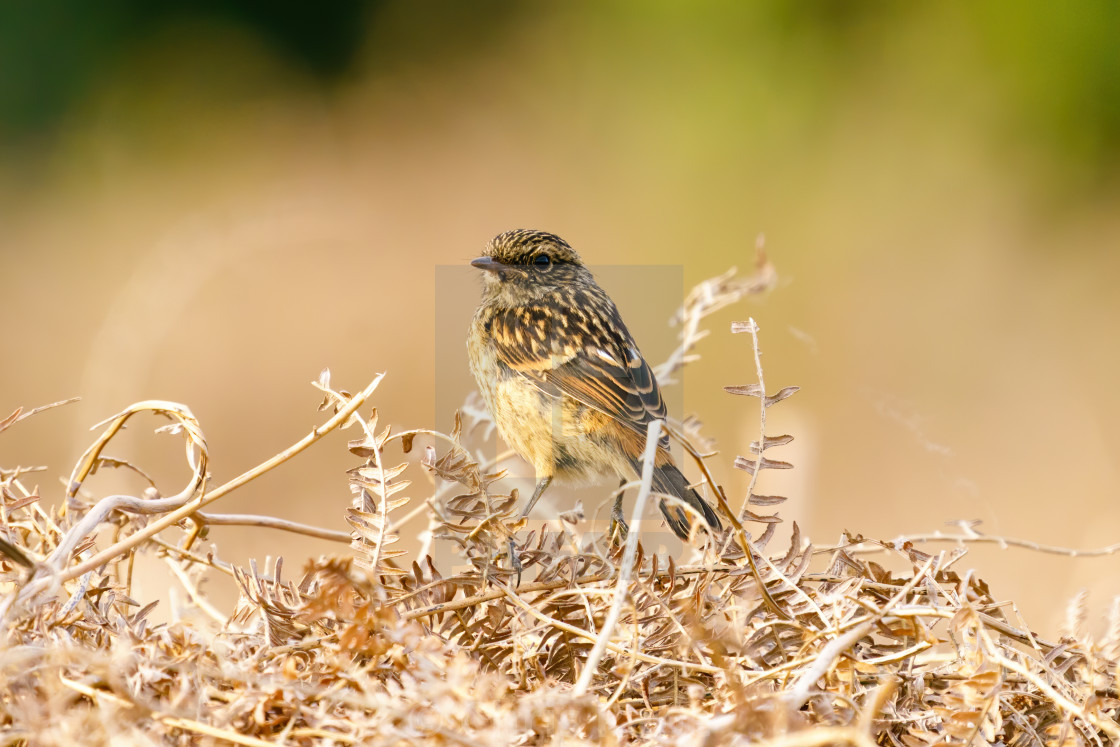 """Stonechat (Saxicola torquata) juvenile looking back overs it's shoulder,..."" stock image"